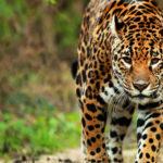 Sigue las pisadas del Jaguar en la Meseta de Cacaxtla
